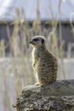 Meerkat που στέκεται στο καθήκον σκοπών, εκλεκτική εστίαση ενάντια θολωμένος Στοκ Εικόνα