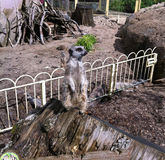Meerkat που φρουρεί το έδαφός του Στοκ Εικόνες