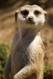 meerkat στεμένος Στοκ φωτογραφία με δικαίωμα ελεύθερης χρήσης