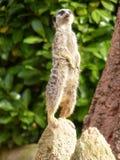 Meerkat στη θέση παρατήρησης σε έναν βράχο Στοκ Εικόνες