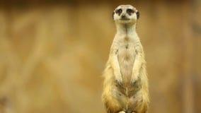 Meerkat στη φρουρά