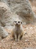 Meerkat στο ζωολογικό κήπο Στοκ φωτογραφία με δικαίωμα ελεύθερης χρήσης