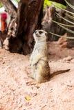 Meerkat στο ζωολογικό κήπο Στοκ Εικόνα