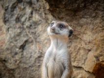 Meerkat στο ρολόι για τον κίνδυνο στοκ φωτογραφία με δικαίωμα ελεύθερης χρήσης