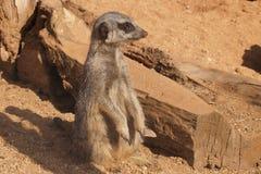 Meerkat στο ρολόι στοκ εικόνα