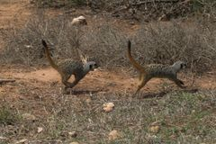 meerkat τρέχοντας Στοκ εικόνες με δικαίωμα ελεύθερης χρήσης