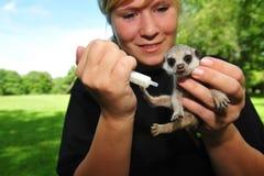 meerkat χαμογελώντας Στοκ Εικόνα