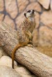 Meerkat в зверинце Стоковая Фотография RF