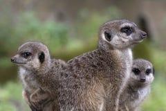 Meerkat в фото зоопарка Стоковое фото RF