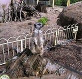 Meerkat защищая его территорию Стоковые Изображения