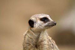 Meerkat или suricate Стоковые Изображения RF