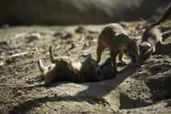 Meerkat или suricate (suricatta Suricata) Стоковая Фотография