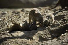 Meerkat или suricate (suricatta Suricata) Стоковые Фотографии RF