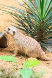 Meerkat ища что-то съесть Стоковые Изображения RF