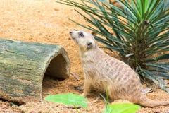 Meerkat ища что-то съесть Стоковые Изображения