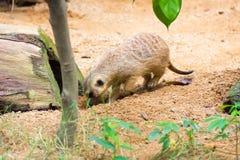 Meerkat ища что-то съесть Стоковая Фотография