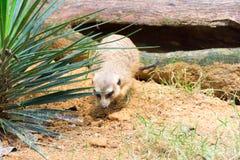 Meerkat ища что-то съесть Стоковое Изображение