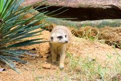Meerkat ища что-то съесть Стоковая Фотография RF