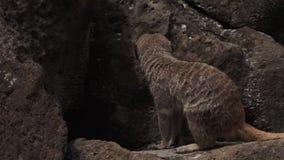 Meerkat идет на утесы видеоматериал