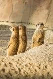 Meerkat или Suricata стоковые фото