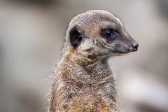 Meerkat или Suricata Стоковое Изображение