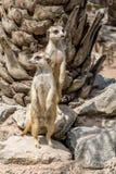 Meerkat или Suricata Suricatta Стоковые Фото