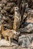 Meerkat или Suricata Suricatta Стоковое Изображение