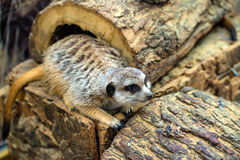 Meerkat или Suricata Suricatta Стоковое Фото