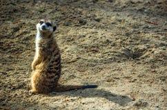 Meerkat или suricate в зоопарке Стоковая Фотография RF