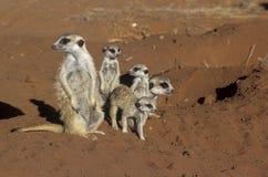 Meerkat или suricate Стоковое Изображение RF