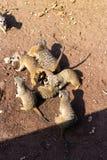 Meerkat многодетной семьи в зоопарке стоковое фото rf