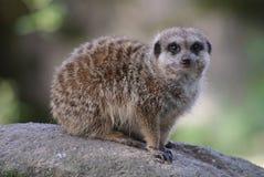 Meerkat на бдительности Стоковое Изображение RF