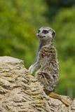 Meerkat на вахте Стоковое фото RF