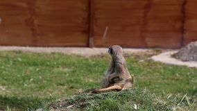 Meerkat на опасности