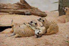 Meerkat на песке Стоковые Изображения