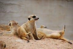 Meerkat на песке Стоковое Фото