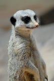 Meerkat на семье предохранителя защищая стоковые фото