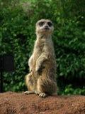 meerkat предохранителя Стоковая Фотография RF