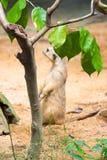 Meerkat пряча от за листьев Стоковые Фото