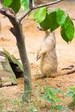 Meerkat пряча от за листьев Стоковые Изображения RF