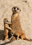 meerkat семьи Стоковое Изображение