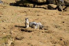 Meerkat сидит и смотрит вокруг Стоковое Изображение