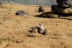 Meerkat сидит и смотрит вокруг Стоковые Изображения