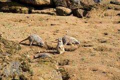 Meerkat сидит и смотрит вокруг Стоковое Изображение RF