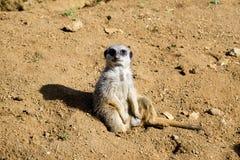 Meerkat сидит и смотрит вокруг Стоковые Фотографии RF