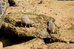 Meerkat сидит и смотрит вокруг Стоковое фото RF