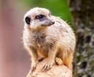 Meerkat сидит на камне Стоковые Изображения