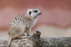 Meerkat сидя на дереве Стоковая Фотография