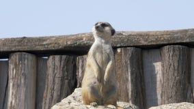 Meerkat смотрит его товарищей 4K видеоматериал