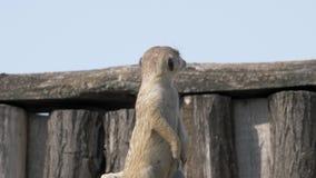 Meerkat смотрит его товарищей 4K акции видеоматериалы